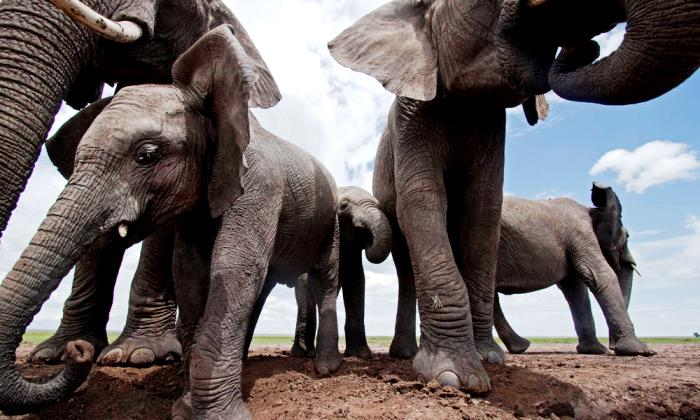 Zilonēns jebkurā brīdī varēja izlauzties brīvībā, tomēr to nedarīja… Kāpēc?