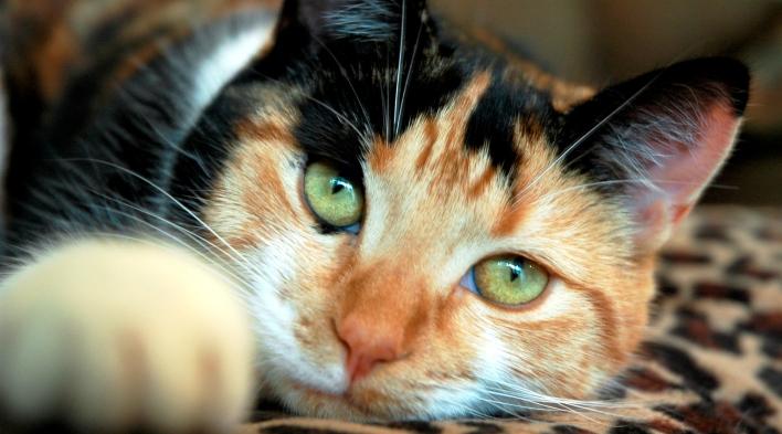 Izrādās, ka kaķa krāsa var liecināt par tā agresiju! Kā? Uzzini