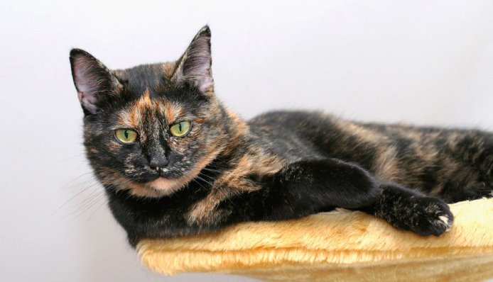 tortishell-cats-same-as-calico-ftr