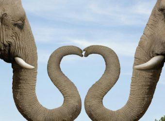 heart_shaped_nose_elephant_couple-852x480