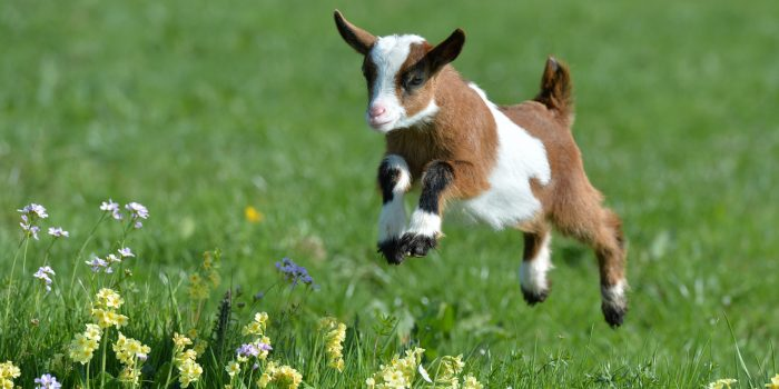 A young goat jumps over a meadow during warm and sunny weather at Gut Aiderbichl in Henndorf in the Austrian province of Salzburg, Monday, April 7, 2014. Gut Aiderbichl is a place of mercy for rescued animals. Weather forecasts predict good weather conditions with mild temperatures for the upcoming days in Austria. (AP Photo/Kerstin Joensson)