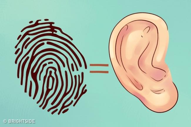 Ko par tavu veselību liecina ausu forma