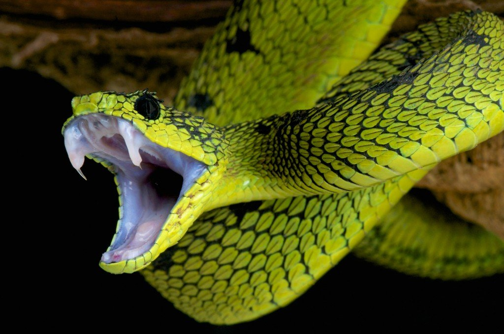 Čūsku inde – sens dziedniecības līdzeklis, kuram piedēvē maģiskas īpašības